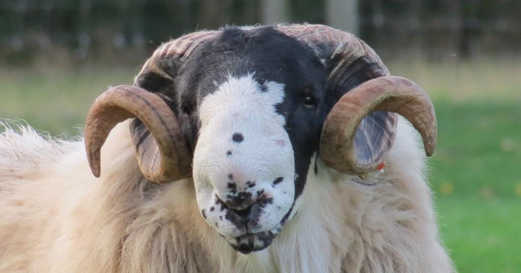 Birchwood Rough Fells Family Run Sheep Farm In Staffordshire